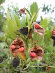 Seed pods on walk to Sai Wan